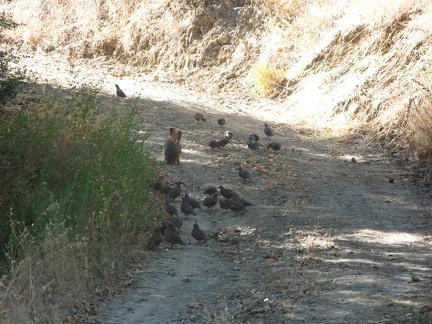 hare quail 01