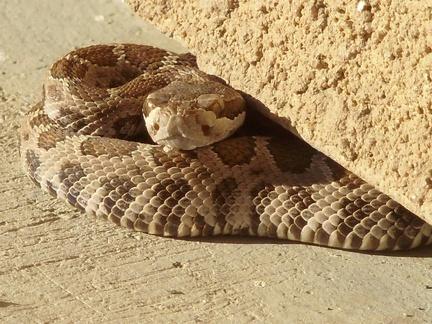 rattlesnake 01