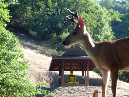 074) Young buck with Golden Buddha