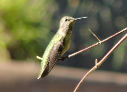076) Hummingbird at rest