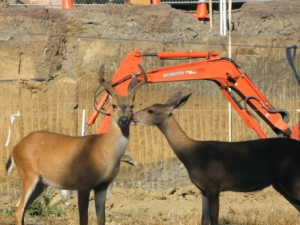 078) Deer at the Construction Site