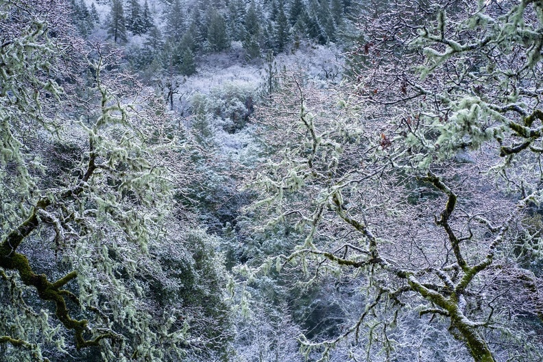 Oak trees in snow.